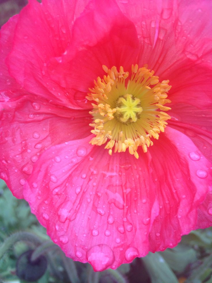 Iceland Poppy in the Northwest after the rain, in my garden