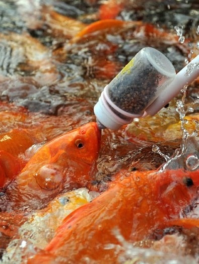 17 best images about koi carp for sale on pinterest for Koi carp farm