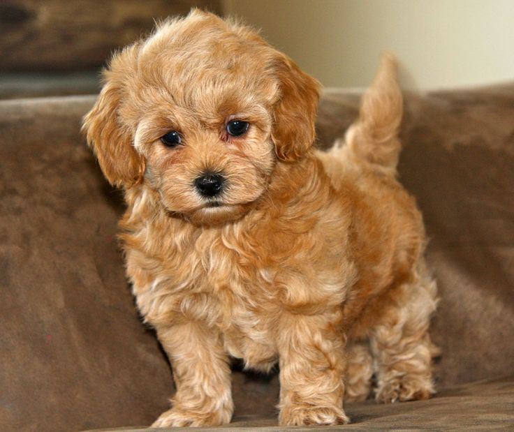 Pictures Of Maltipoo Puppies - HD Wallpapers and Pictures