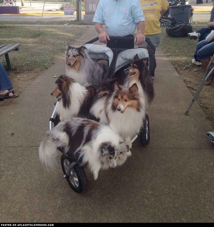 The Sheltie Shuttle -- All aboard the Sheltie hop on, hop off stroller! Join in…… the more the merrier!