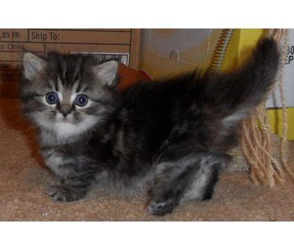 """Napoleon Kittens   Napoleon """" """"Munchkin"""" Kittens Price Lowered   Female Munchkin Kitten ..."""