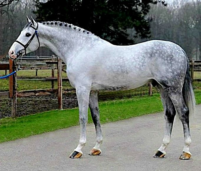 Holsteiner and Zangersheide registered stallion, Cancara Z.  The Holsteiner horse is a warmblood, powerful and elegant breed. It is similar to the Hanoverian breed only a bit heavier.