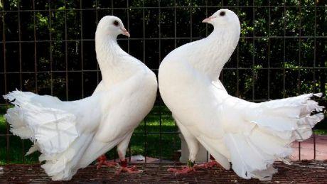 Expoziţie INEDITĂ de porumbei dar şi alte păsări exotice la Străşeni