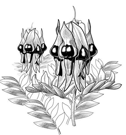 Sturt Desert Pea - Illustrated by Glenn Lumsden