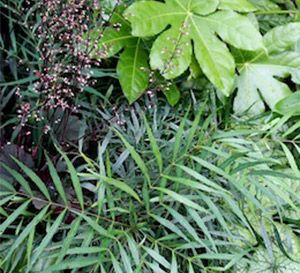 Mahonia 'Soft Caress' is an elegant shrub that offers an ideal choice.