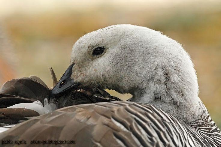 mis fotos de aves: Cauquén común [Chloephaga picta] Upland Goose