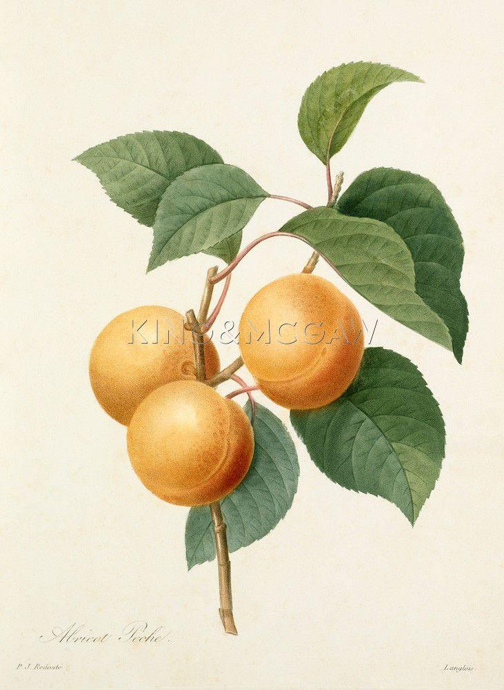 Plate 1 Art Print by Pierre Joseph Celestin Redouté at King & McGaw Pierre-Joseph Redouté #botanical #illustration #apricot #vintage #print