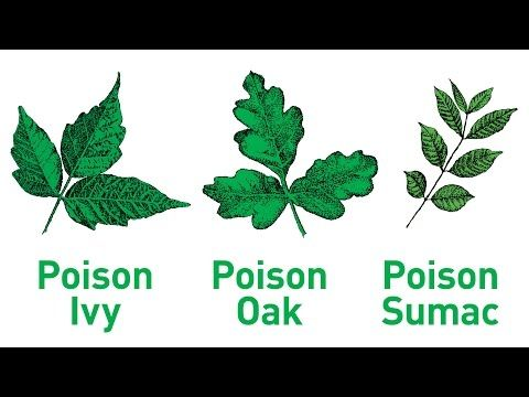 It's possible to develop poison ivy, oak and sumac rashes from being exposed to oils on your pet. Learn how to protect yourself and your pet from these plants.