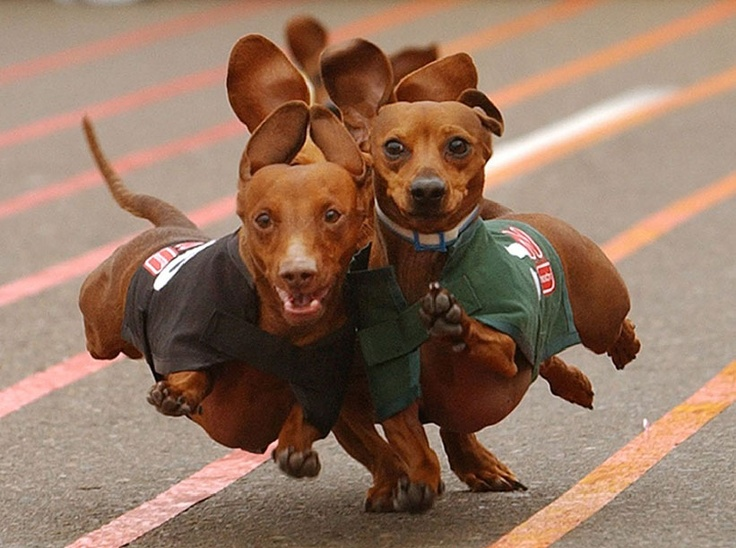Wiener Dog Racing: Weenie Dogs, Hotdogs, Weinerdogs, Racing Day, Dogs Running, Funny Animal, Weiner Dogs, Wiener Dogs, Hot Dogs