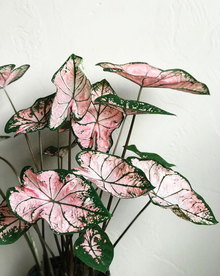 @growingwithkate 💗✨ Pink #Caladium ✨💗 . . . #🌱 #🌿 #botanical #caladium #leaves #foliage #greenery #indoorgarden #greenthumb #houseplants #plants #flora #pottedplants