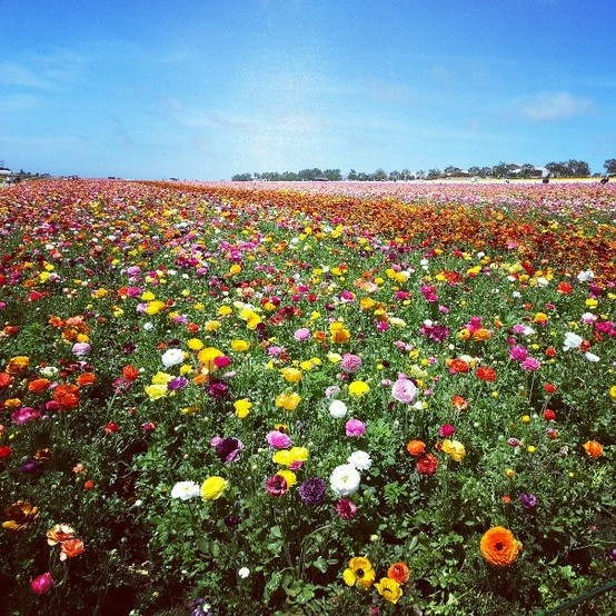Carlsbad Flower Fields! #alistudents #carlsbad #flowerfields #SDSU #ALI #sandiego