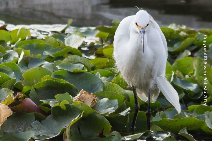 Un ave en medio de lotos