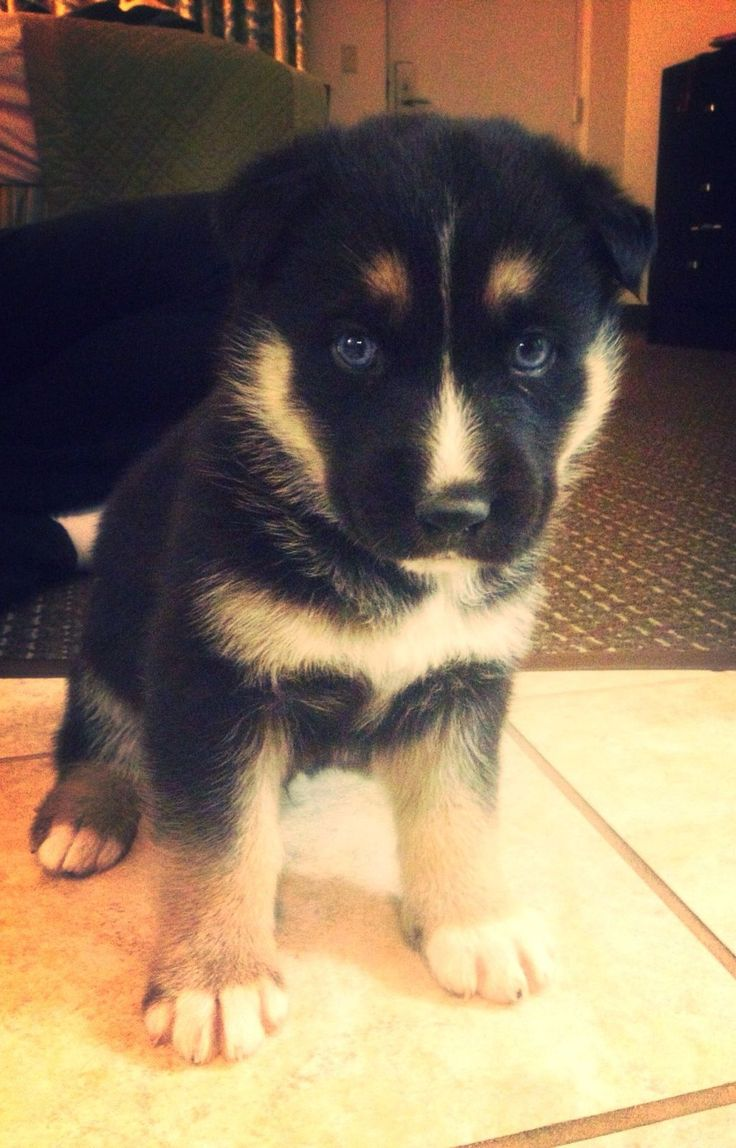 German Shepherd Husky Mix looks like my new puppy but mine has one blue eye and one brown
