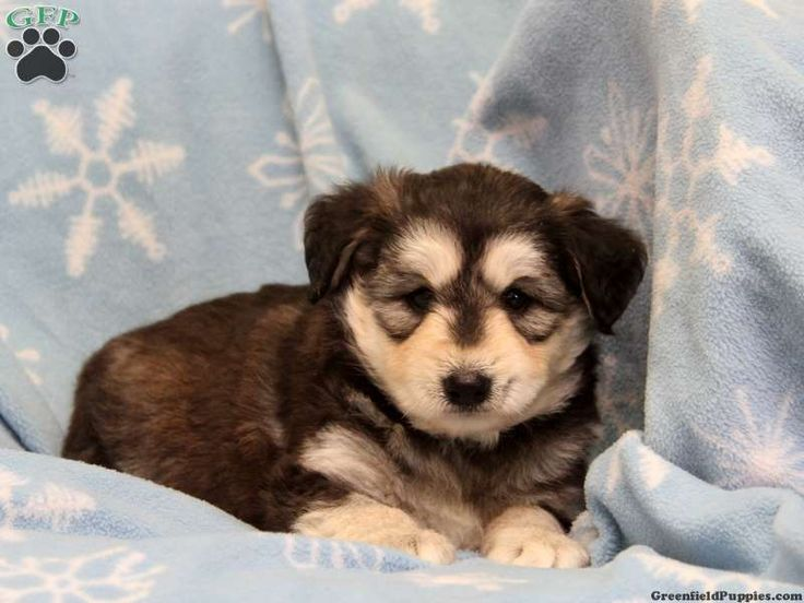 Siberian Husky Golden Retreiver Mini Poodle mix puppy. Omg all in one! Good for allergies