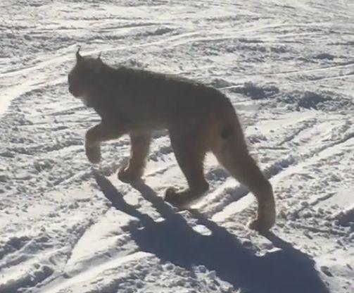 Um animal raro causou curiosidade nos Estados Unidos após ser gravado passeando tranquilamente em uma estação de esqui. Na gravação, é possível notar a proximidade com que ele caminha entre os esquiadores.