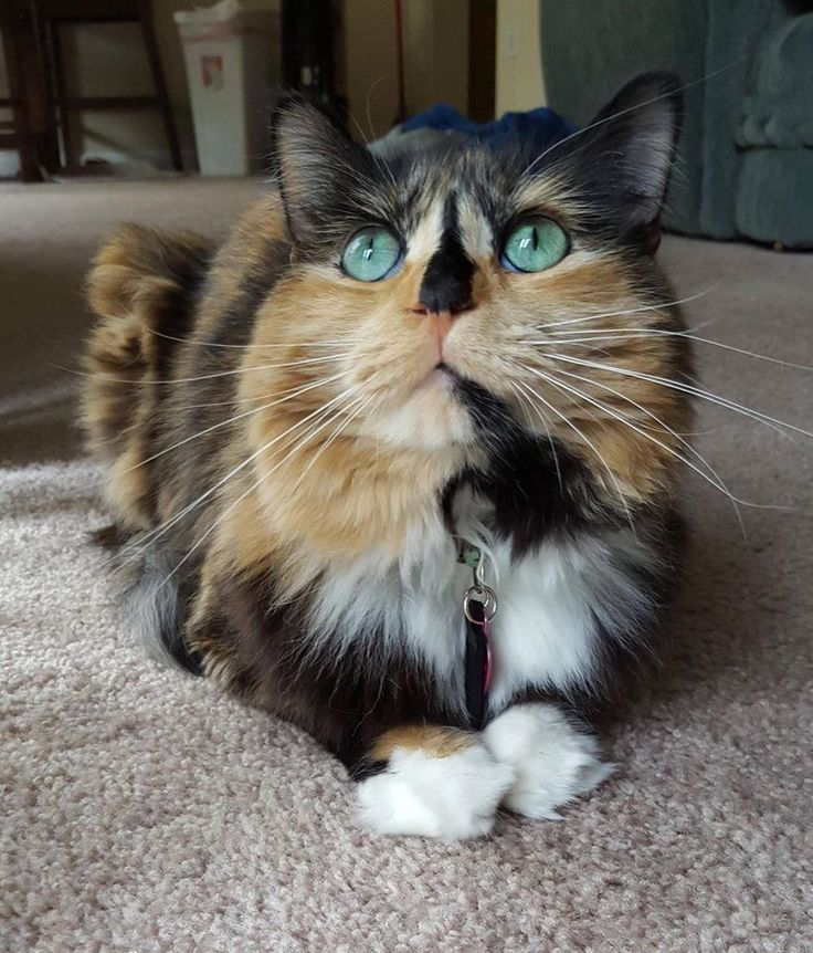 1000+ images about cats: calicoes & torties on Pinterest ...