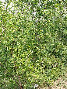 Tree - Jujube (عناب) -