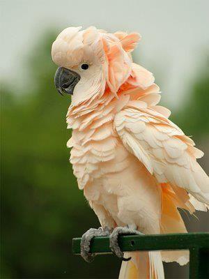Moluccan Cockatoo #moluccan #cockatoos #parrots #birds #animals #wildlife