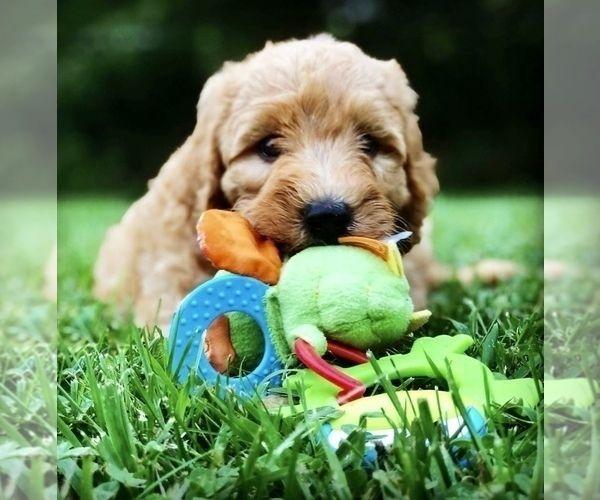 Labradoodle Puppy For Sale In Burton Oh Usa Adn 150976 On Puppyfinder Com Gender Male Age Labradoodle Puppy Labradoodle Puppies For Sale Puppies For Sale