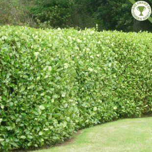 Griselinia littoralis hedge plants | Griselinia hedging