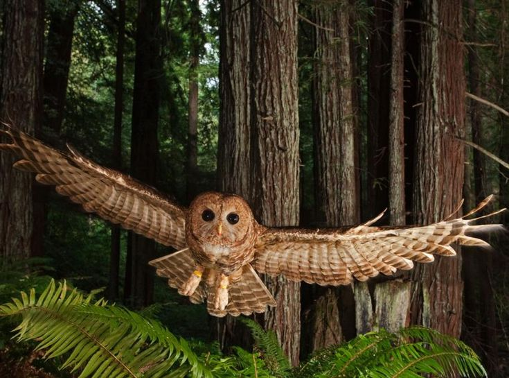 Great Northern Spotted Owl