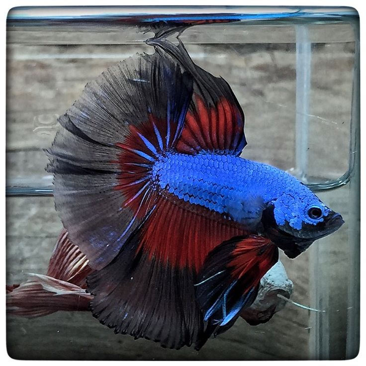 Eagles black butterfly 1563 beautiful for Good betta fish names