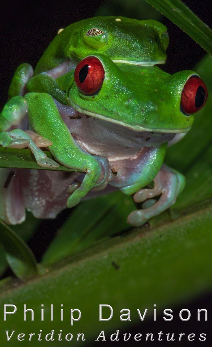 best 25 green tree frog ideas on pinterest tree frogs
