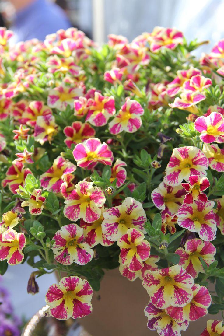 calibrachoa 39 holy moly 39 2015 proven winners garden plants pinterest proven winners. Black Bedroom Furniture Sets. Home Design Ideas