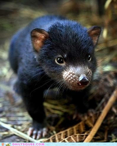 Baby Tasmanian Devil, found only living Tasmania, Australia.  Hundreds of years ago they were also found living on the Australian mainland. The Tasmanian devil is a marsupial meaning the females have a pouch to carry their offspring.  They are not dangerous to humans but have strong jaws and will bite if they are threatened,  They are carnivorous. http://www.parks.tas.gov.au/?base=387