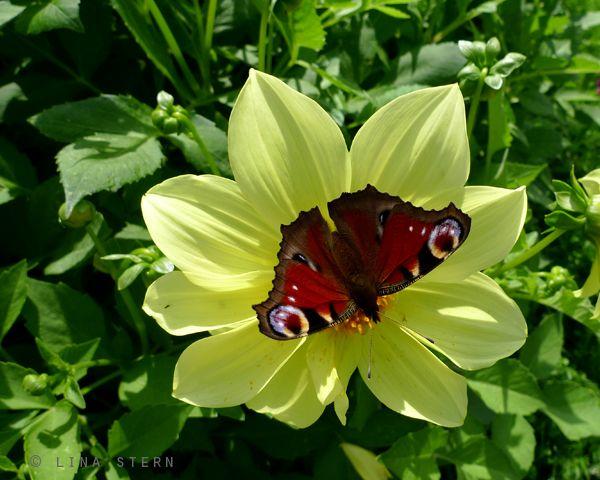 Вечный союз бабочек и цветов. Фотографии - Лины Штерн ...