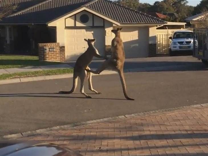 Sometimes you just have to duke it out. That's what two male kangaroos did in the middle of a suburban neighborhood in New South Wales,...