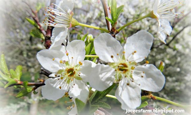 Spring in the Orchard @ Jocees Farm