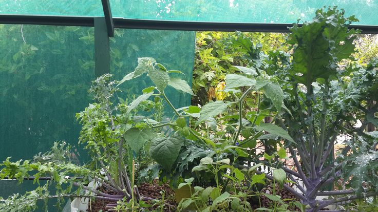 Kale and Gooseberries in one of my Aquaponic garden beds.