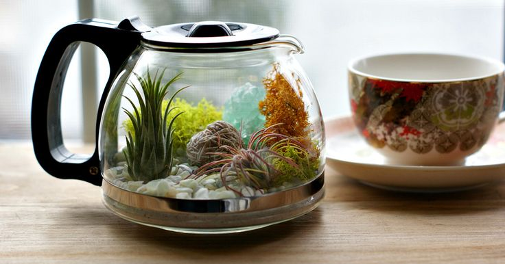 Inspired by my grandmother's love of plants and coffee I up-cycled my old coffee pot into an air plant terrarium. These air plants need minimal care making them a charming addition to any office desk or small indoor space needing a pop of greenery.