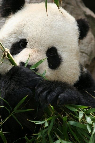 Giant Panda beautiful amazing....this is a gorgeous photo ~ thank you for sharing♥