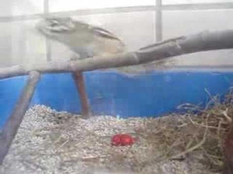 Chipmunk eating - Esquilo comilão
