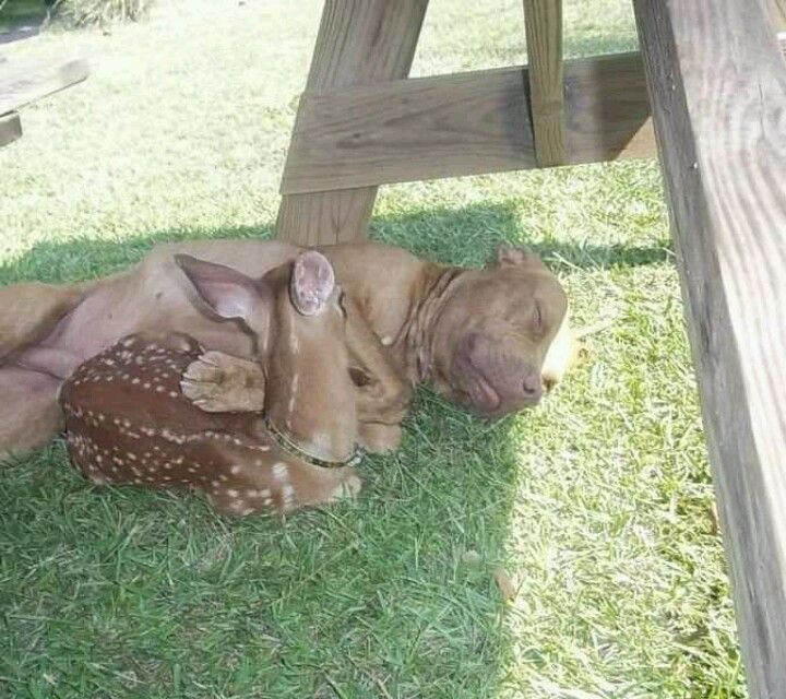Pit bull and fawn