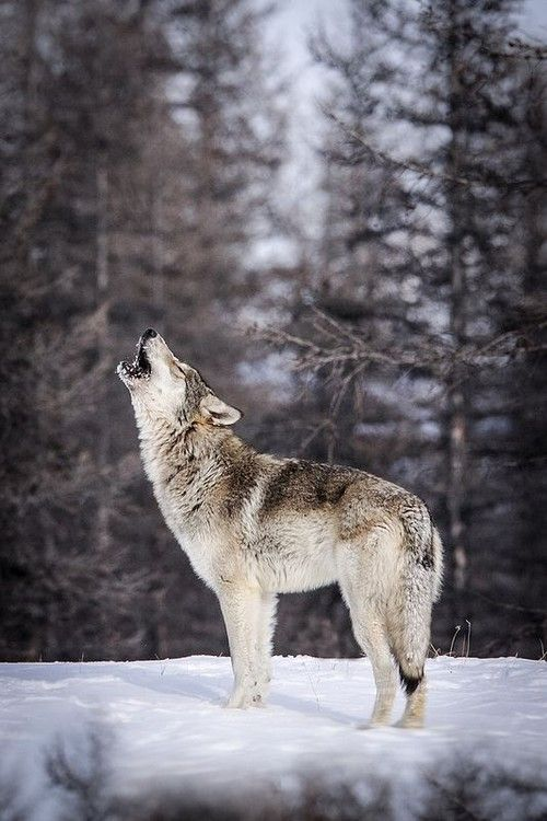 North American Wolf by Instinct Film   Stunning ...