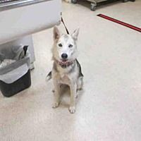 Pictures of Dog a Siberian Husky for adoption in Jurupa Valley, CA who needs a loving home. #siberianhusky