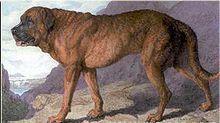 """El mastín alpino es una extinta Molosser raza de perro , el progenitor de la St. Bernard , y un importante contribuyente a la moderna mastín (a través de los perros como """"couchez"""" [1] ), así como con otras razas que se derivan de estas razas o están estrechamente relacionados con ellos. MB Wynn escribió: """"En 1829 un vasto luz atigrado perro de la antigua raza mastín alpino, llamado L'Ami, fue traído del convento de Gran San Bernardo, y exhibió en Londres y Liverpool como el perro más grande…"""