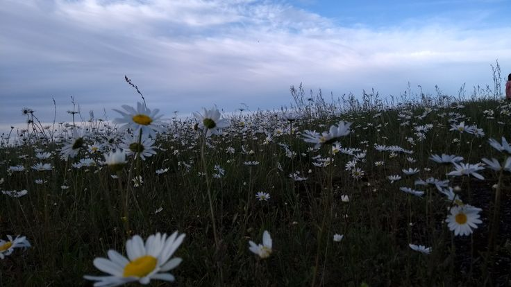 Cloudy skies and oxeye daisies