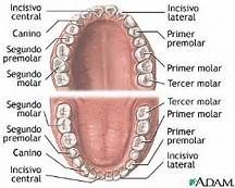Resultados de la búsqueda de imágenes: imagenes de los 32 dientes permanentes de seres humanos - Yahoo Search