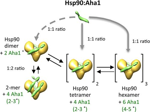 Hsp90 Oligomers Interacting with the Aha1 Cochaperone: An Outlook for the Hsp90 Chaperone Machineries