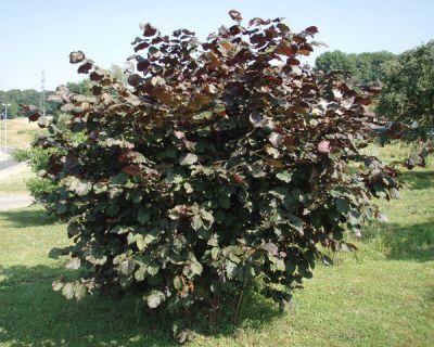 Noisetier pourpre - Corylus maxima 'Purpurea' - Arbres et arbustes d'ornement - Pépinières Meylan Shop