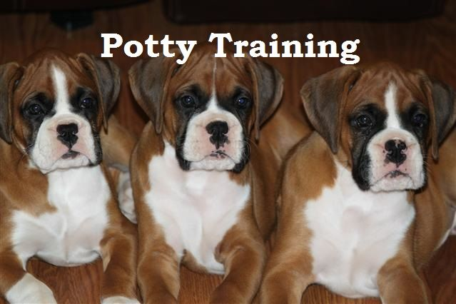 Boxer Puppies. How To Potty Train A Boxer. Boxer House Training Tips. Housebreaking Boxer Puppies Fast & Easy. Share this Pin with anyone needing to potty train a Boxer Puppy. Click on this link to watch our FREE world-famous video at ModernPuppies.com