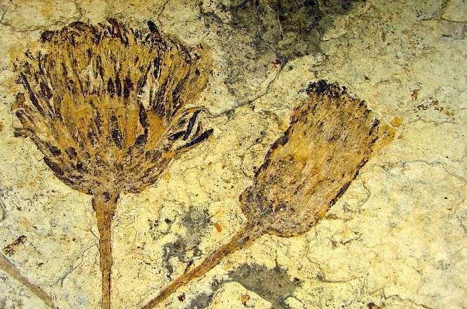Paleontologie Le Plus Vieux Cousin Du Tournesol A Ete Identifie Fossiles Paleontologie Tournesol