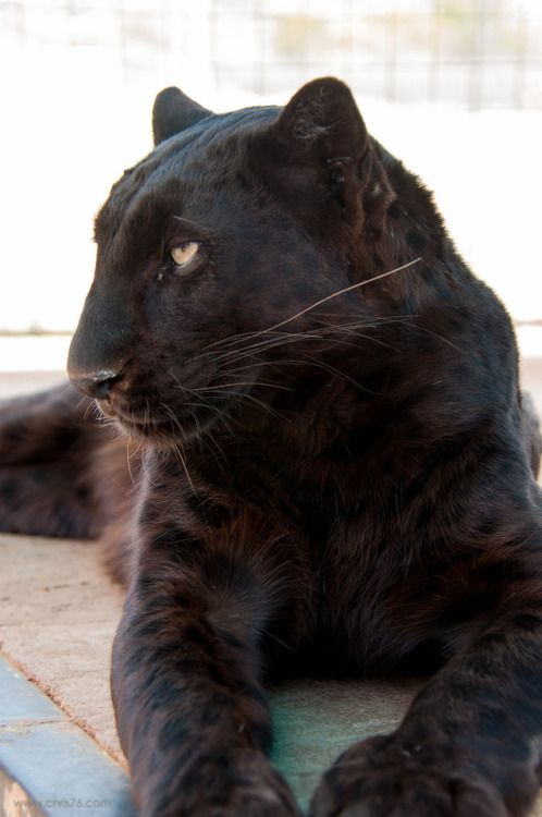 920393e3f FunkySafari — Black panther by chrisparkeruk | animals | Black ...
