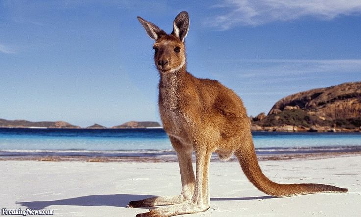 Funny Kangaroo Pictures - Freaking News
