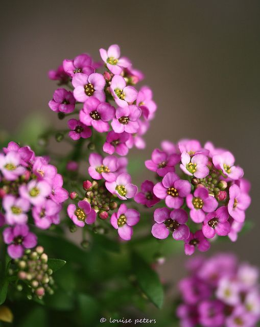 Alyssum Flowers Have A Peppery Flavour Being Related To