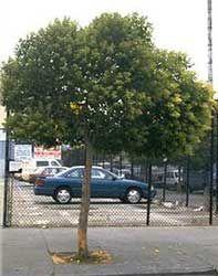 un árbol en la ciudad...a tree in the city